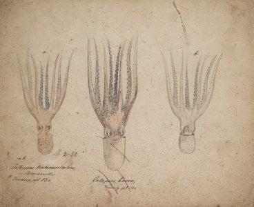 Octopus tuberculaters [art original].
