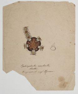 Ophiopholis aculeata [art original].