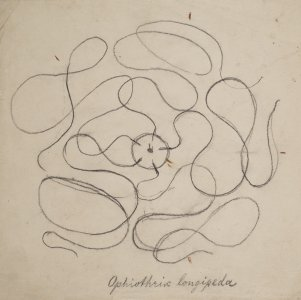 Ophiothrix longipeda [art original].