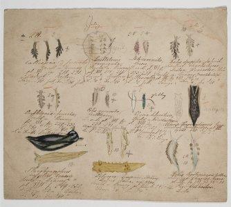 Calliopaa fuscata [art original].
