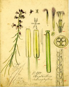 Streptanthus heterophyllus [art original].