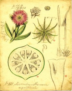 Mesembryanthemum aequilaterale [art original].