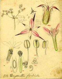 Choryzanthe fimbriata [art original].