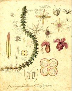 Myriophyllum heterophyllum [art original]