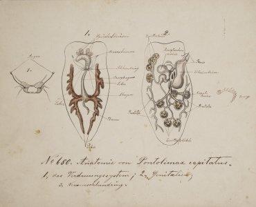 Anatomie von Pontolimax capitatus [art original].