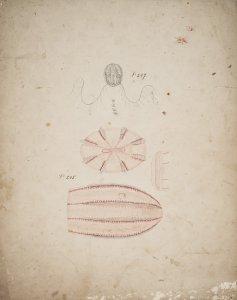 Pleurobrachia pileus, no. 247 [art original]: Idyia roseola, no. 245