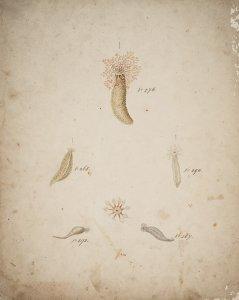 Thyone raphanus, no. 293 [art original]: Cucumaria hyndmannii, no. 267: Cucumaria tergestina, no. 268: Thyonidium pellucidum, no. 294: Phyllophorus urna, no. 276