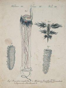 Physalia megalista [art original]: Glaucus Flagellum: Pyrosoma atlanticum.