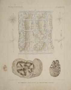 Aulocystis Zittelii [art original]: Aulocystis Grayi.