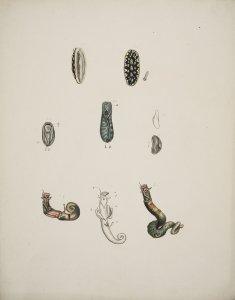 [Unidentified nudibranchiata] [art original].