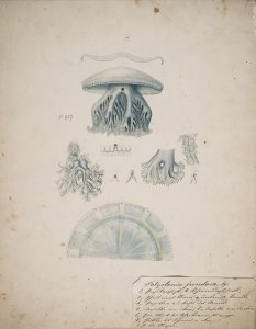 Polyclonia frondosa, no. 237 [art original].