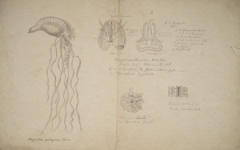 Physalia pelagica [art original]: Chiajea multicormis