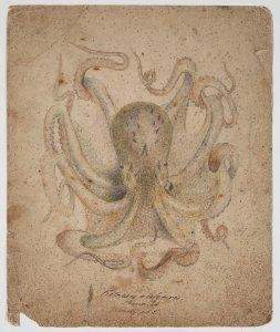 Octopus vulgaris [art original].