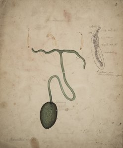 Phascolosoma vulgare [art original].
