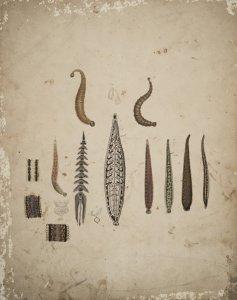 Pontobdella muricata [art original]: Hirudo medicinalis