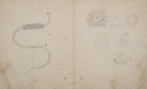 [Untitled drawing of various sea creatures] [art original].