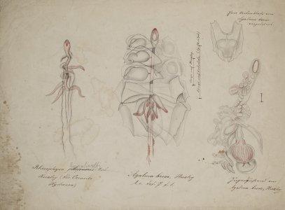 Rhizophysa Eysenhardti [art original]: Agalma breve.