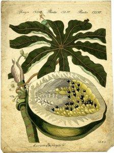 Carica papaya, L. [art original].