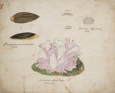 Diphyllidia lineata [art original]: Eolidia hystrix: Ascidia hyalina.