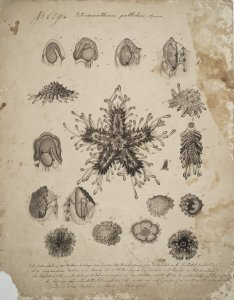 Asteracanthion pallidus [art original].