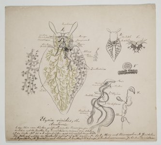 Elysia viridis [art original].