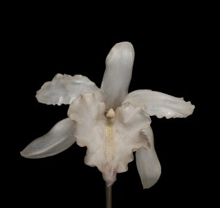 Model of an Orchid