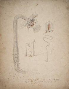 Carymorpha nutans, no. 146 [art original]: Nat. Gr...freie meduse vergrofsert: Dieselbe nat. gr.