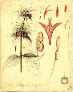 Monarda didyma [art original]