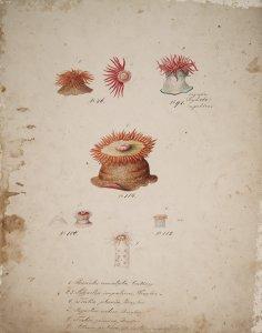 Bunodes cruentata, no. 46 [art original]: Sagartia impatiens, no. 91: Tealia pluvia, no. 114: Sagartia rubus, no. 100: Tealia gemma, no. 112: Actinia pretiosa