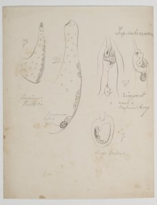 Lupinus barkeri [art original]: Lupsubcarnosus: Lup. luteus