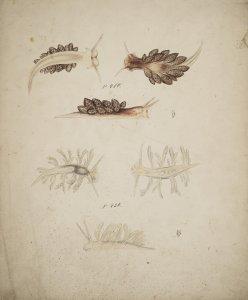 Embletonia pallida [art original]: Stiliger Mariae.