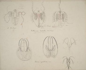 Callianira bialata [art original]: Bolina hydatina