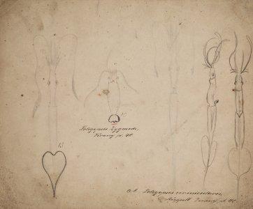 Loligopsis zygaena [art original]: Loligopses vermicularis