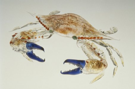 Blue claw crab [slide].