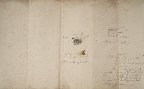 Actinia clavigera [art original]: Actinia diadema