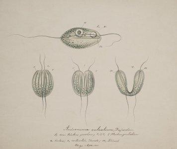 Anisonema sulcatum [art original].