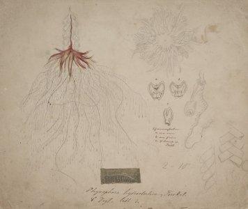 Physophora hydrostatica [art original].