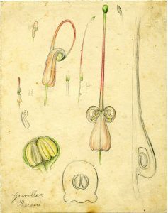 Grevillea preissii [art original].