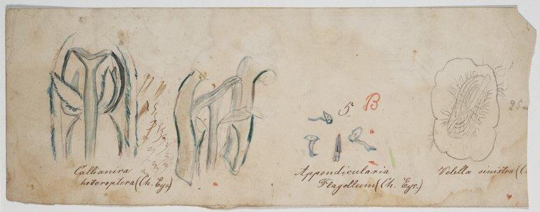 Callianira heteroptera [art original]: Appendicularia flagellum: Velella sinistra