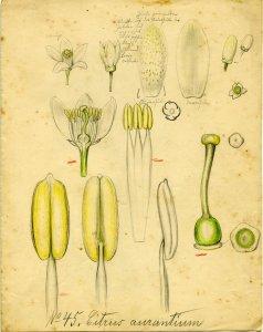 Citrus aurantium [art original].