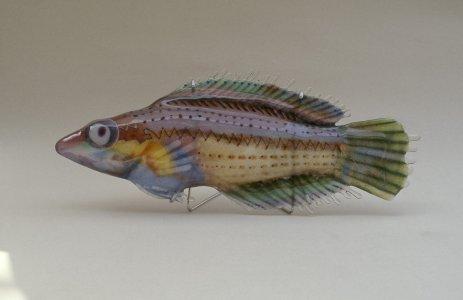 Fish lamp (wrasse) [slide].