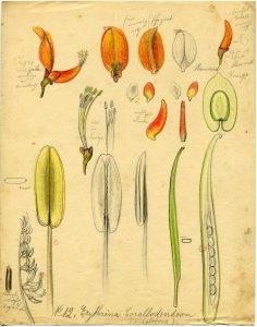 Erythrina corallodendron [art original].