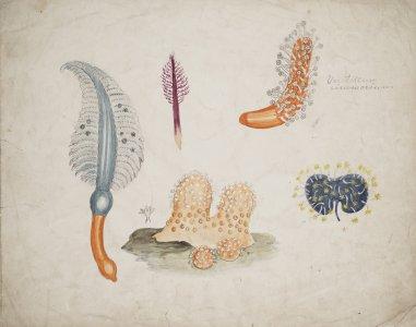 Veretillum cinomorium [art original].