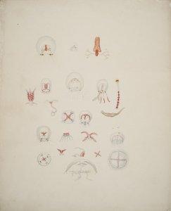 Medusoids/hydrozoans [art original].