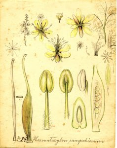 Haematoxylon campechianum [art original].