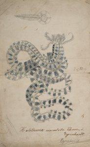 Holothuria maculata [art original].