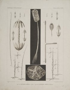 Hyalonema Sieboldi [art original]: Hyalonema Gracile.