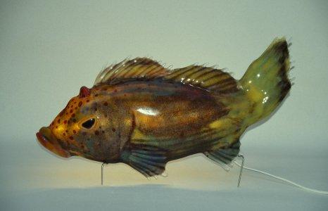 Rump no. 7 (freckled hawkfish) [slide].