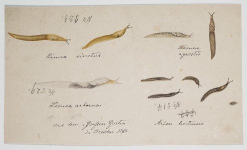 Limax cinctus, no. 531 [art original]: Limax agrestis: Limax arborum, no. 529: Arion hortensis, no. 514