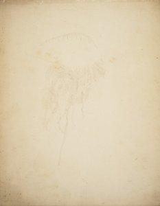 [Physalia caravella, no. 210] [art original].